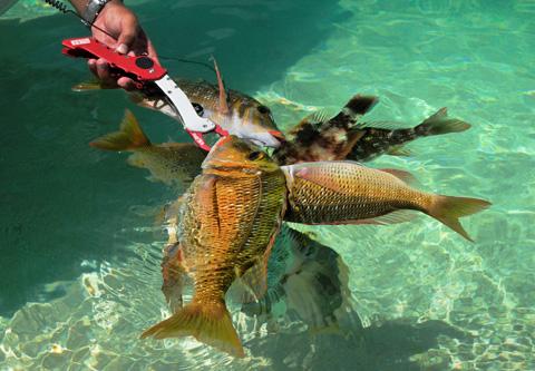 フエフキ系の魚